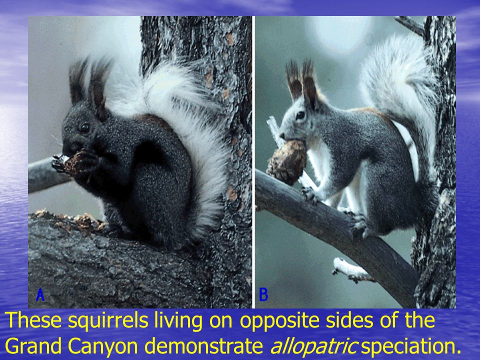 These squirrels living on opposite sides of the Grand Canyon demonstrate allopatric speciation.
