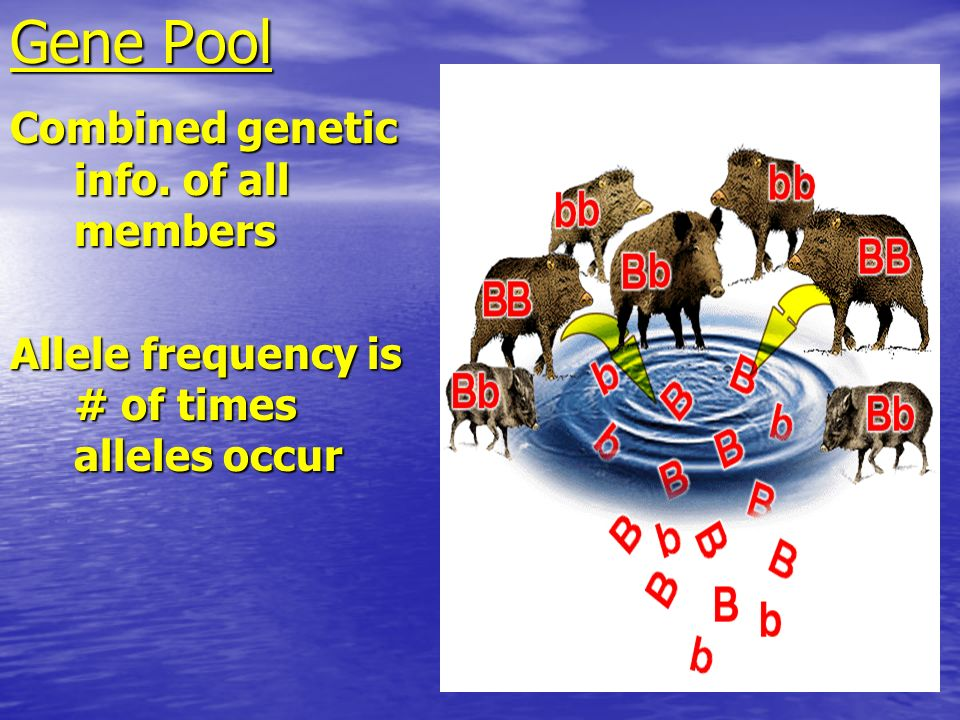 Gene Pool Combined genetic info. of all members