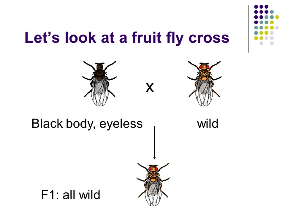 Let's look at a fruit fly cross