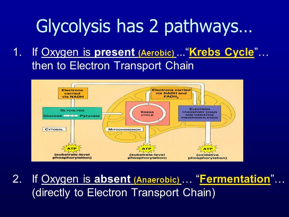 Glycolysis has 2 pathways…
