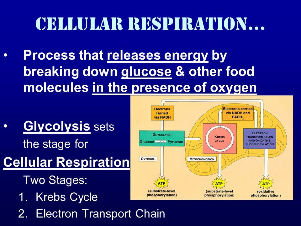 Cellular Respiration…