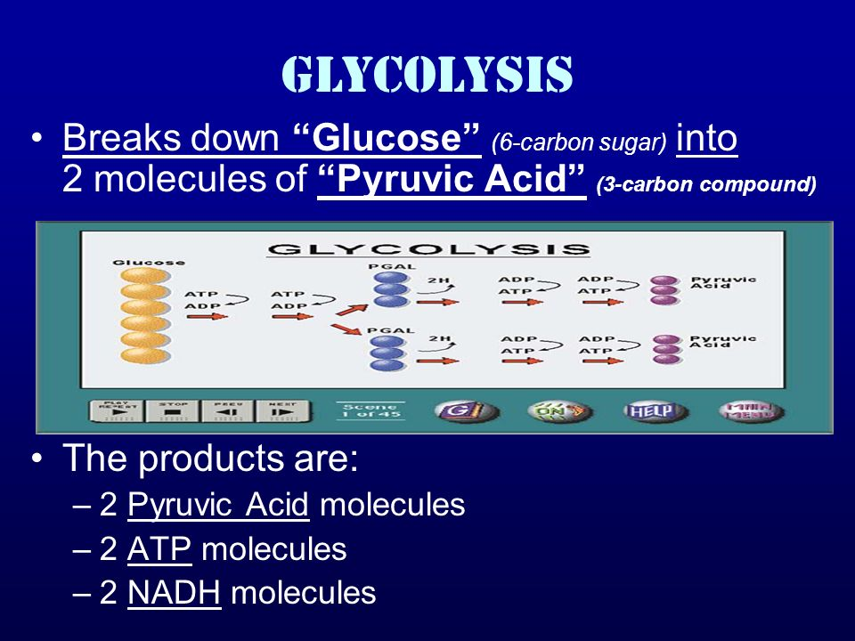GLYCOLYSIS Breaks down Glucose (6-carbon sugar) into 2 molecules of Pyruvic Acid (3-carbon compound)