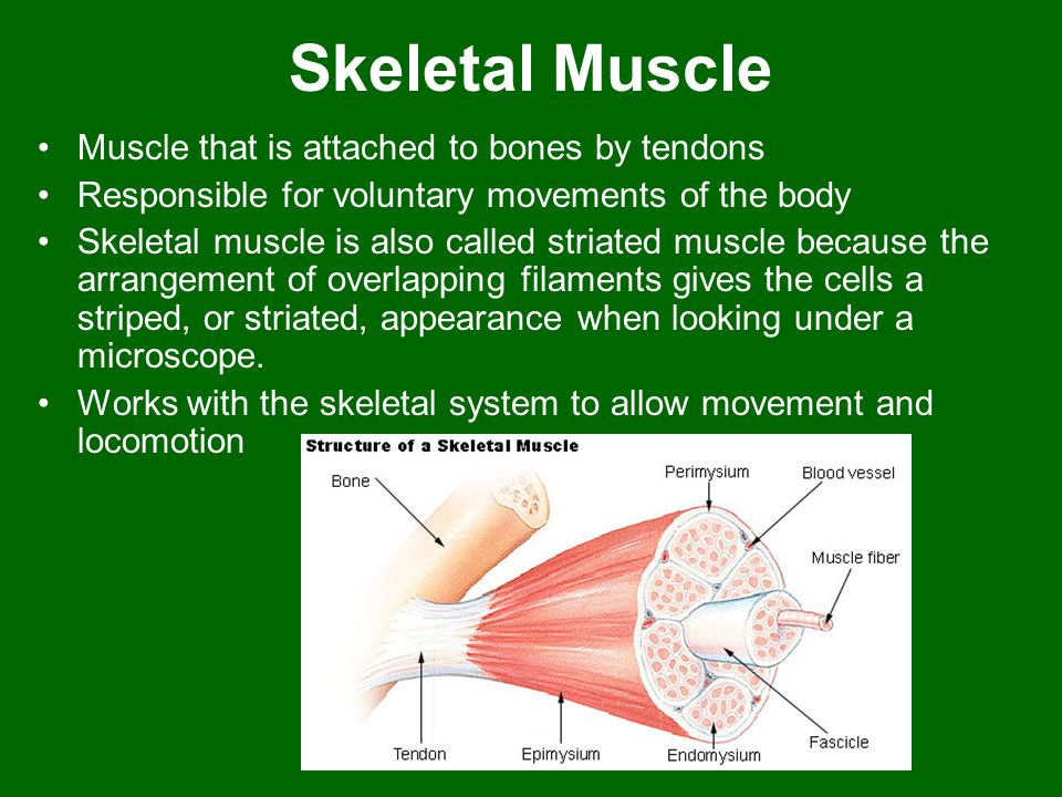 Skeletal Muscle Muscle that is attached to bones by tendons