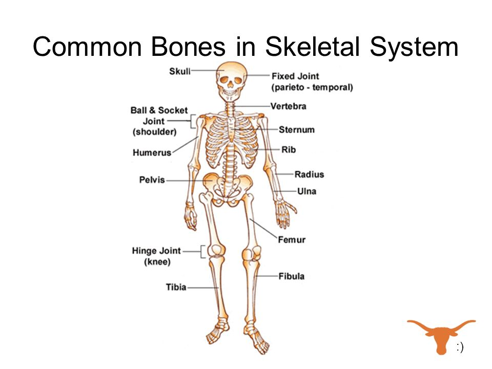 Common Bones in Skeletal System