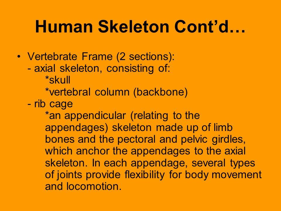 Human Skeleton Cont'd…