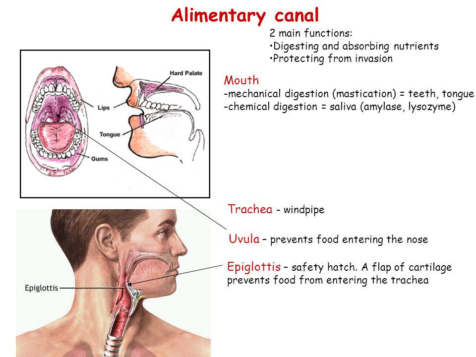 Alimentary canal Mouth Trachea - windpipe