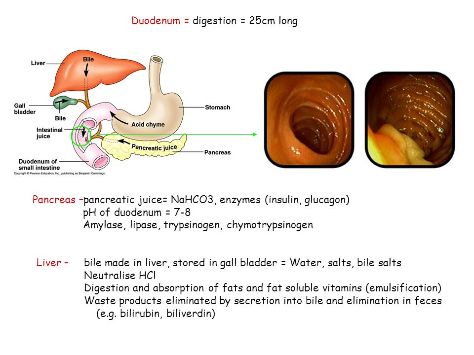 Duodenum = digestion = 25cm long