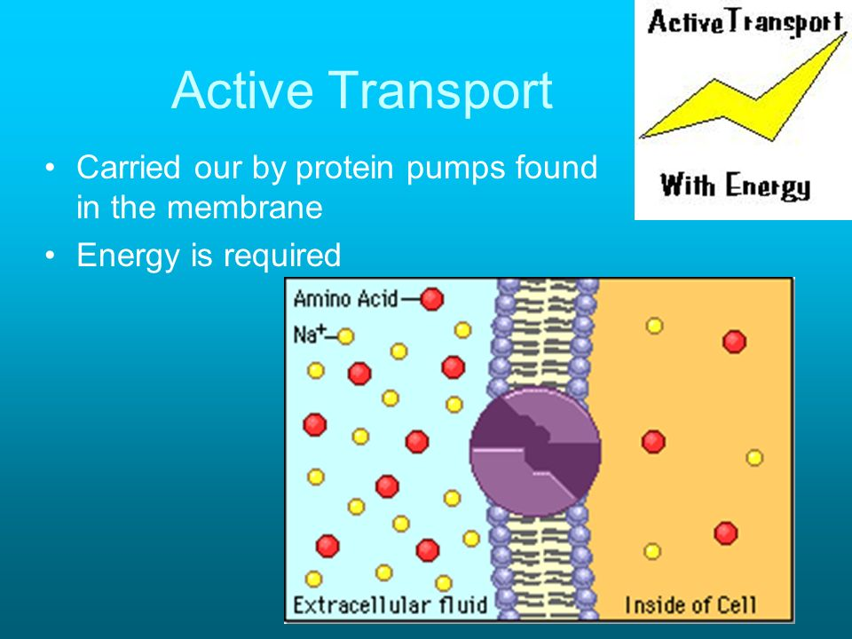 Active Transport Carried our by protein pumps found in the membrane