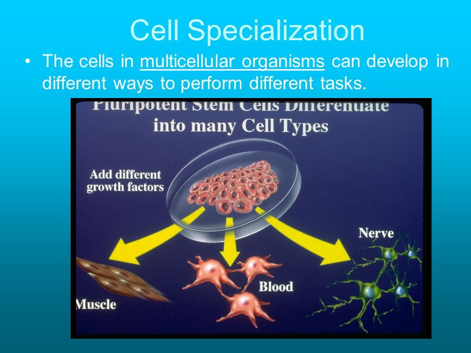 Cell SpecializationThe cells in multicellular organisms can develop in different ways to perform different tasks.