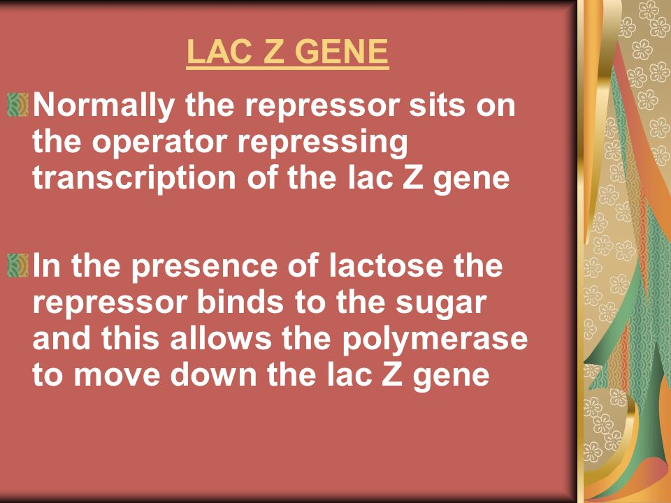 LAC Z GENE Normally the repressor sits on the operator repressing transcription of the lac Z gene.