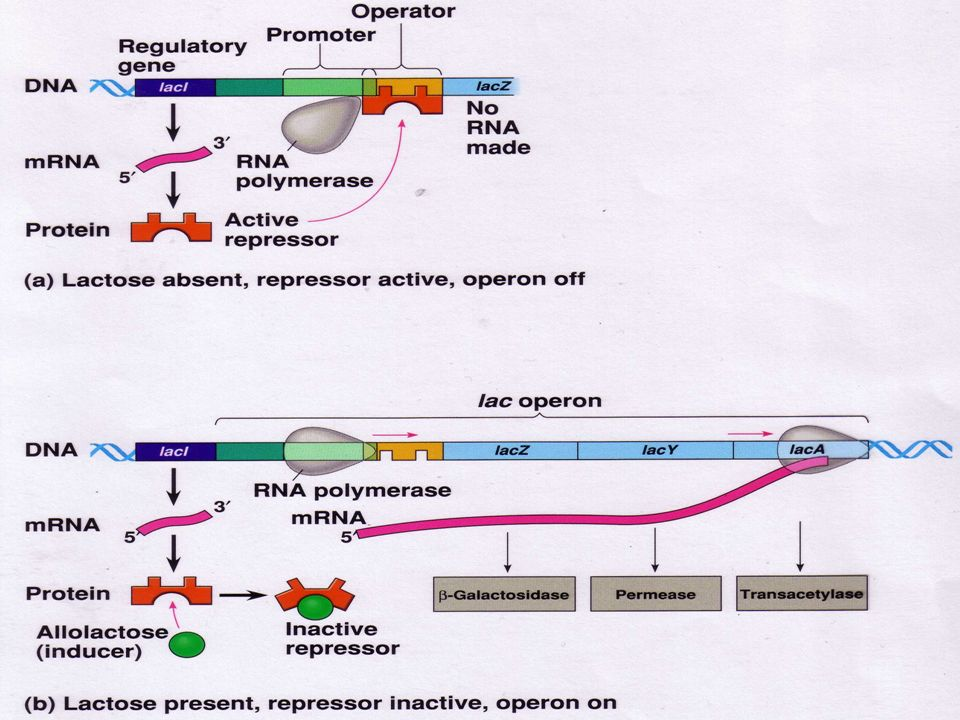 LAC OPERON REGULATED SYNTHESIS OF INDUCIBLE ENZYMES