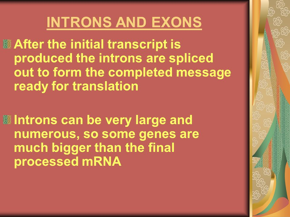 INTRONS AND EXONSAfter the initial transcript is produced the introns are spliced out to form the completed message ready for translation.