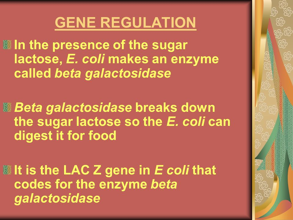 GENE REGULATION In the presence of the sugar lactose, E. coli makes an enzyme called beta galactosidase.