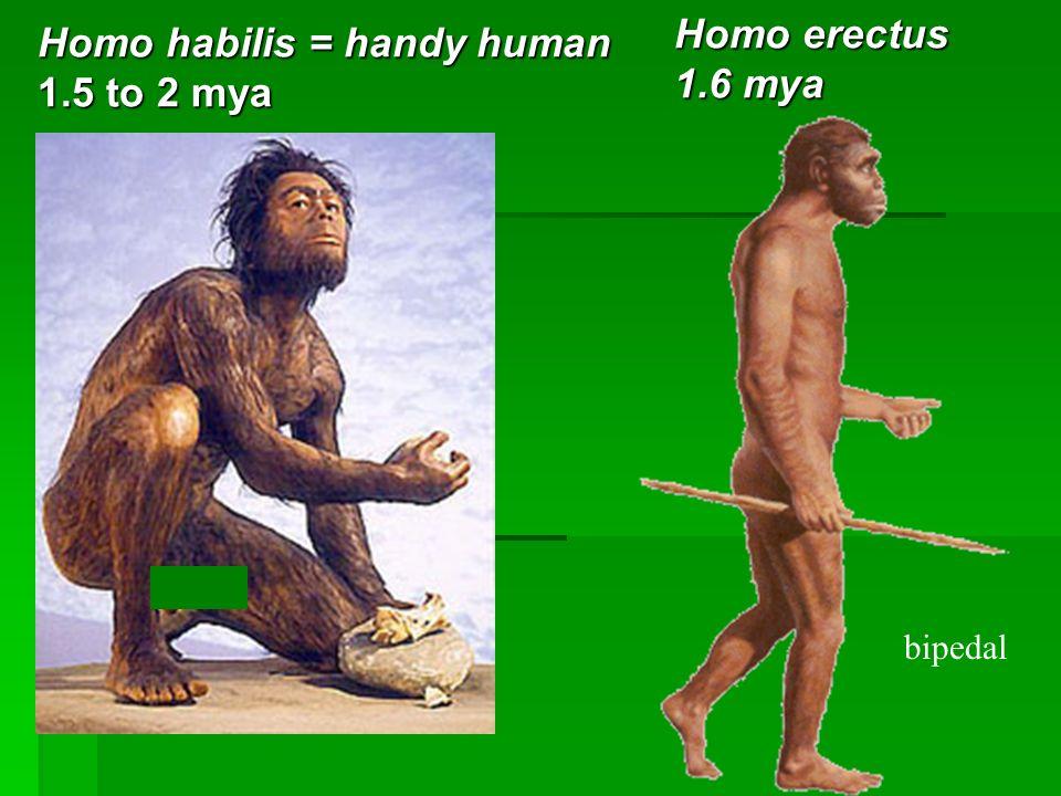 Homo habilis = handy human 1.5 to 2 mya