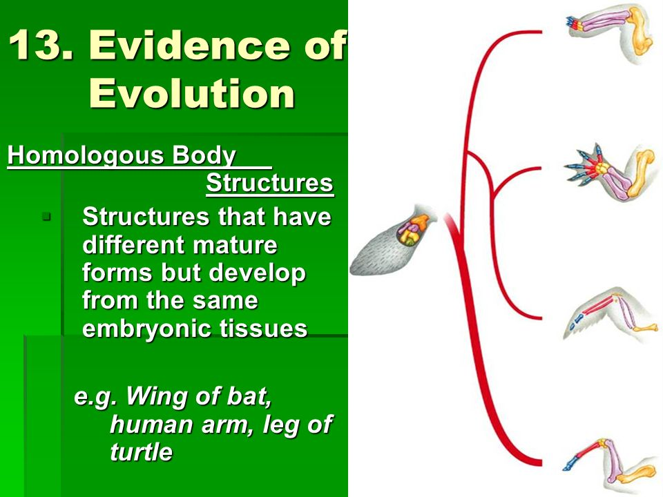 13. Evidence of Evolution Homologous Body Structures