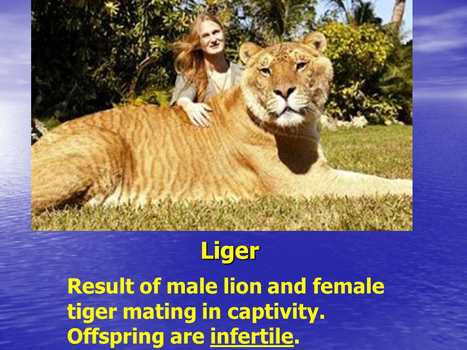 Liger Result of male lion and female tiger mating in captivity. Offspring are infertile.