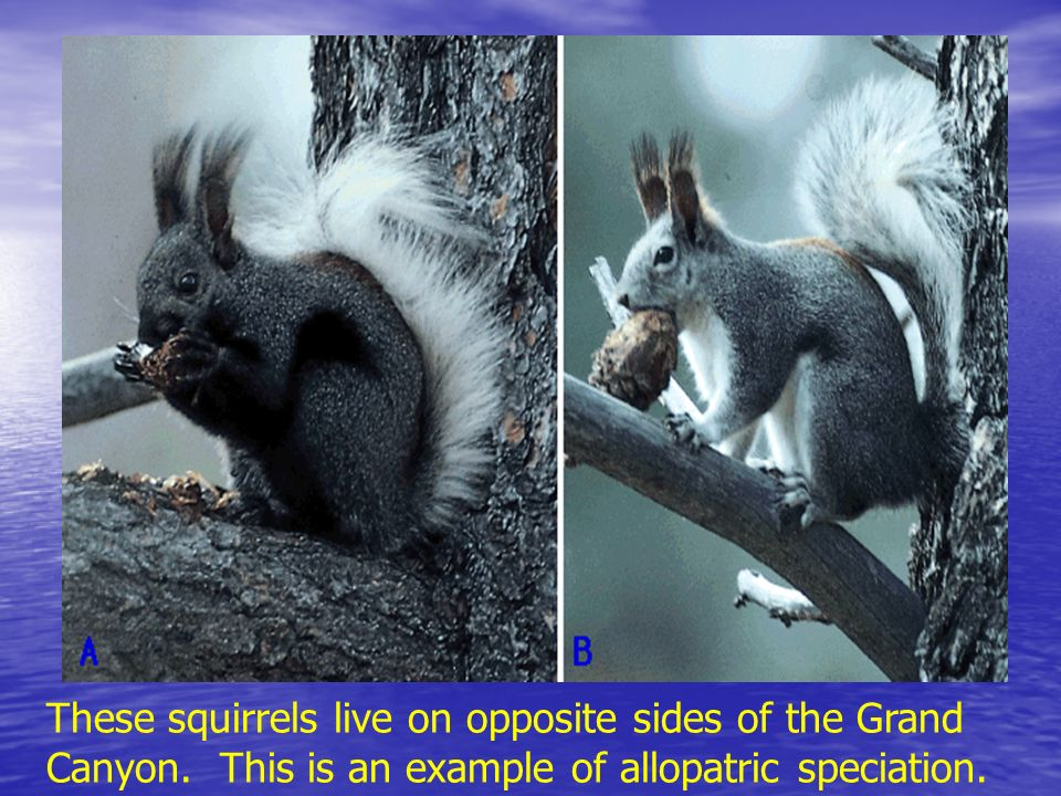 These squirrels live on opposite sides of the Grand Canyon