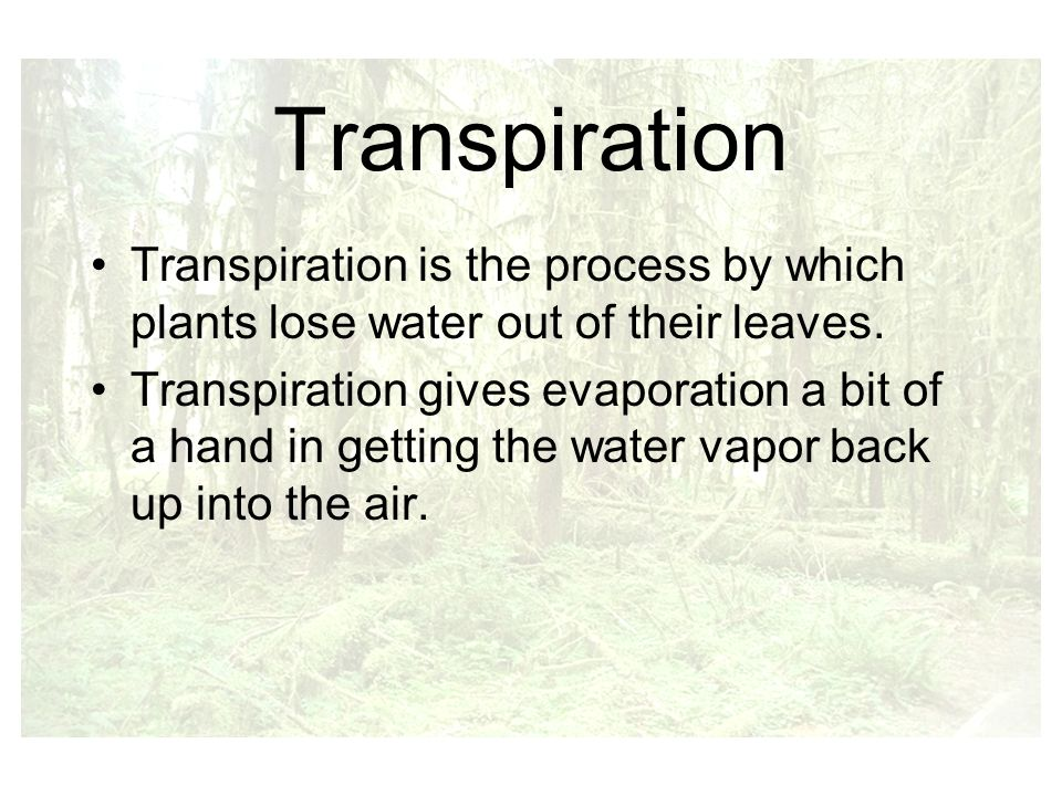 Transpiration Transpiration is the process by which plants lose water out of their leaves.