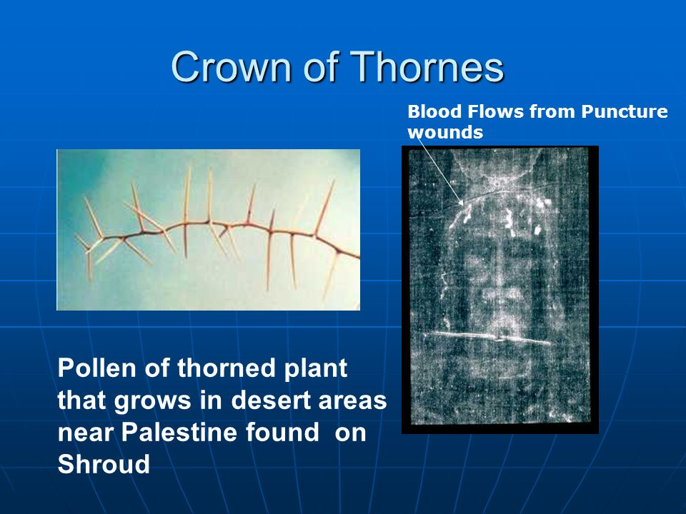 Crown of Thornes Pollen of thorned plant that grows in desert areas