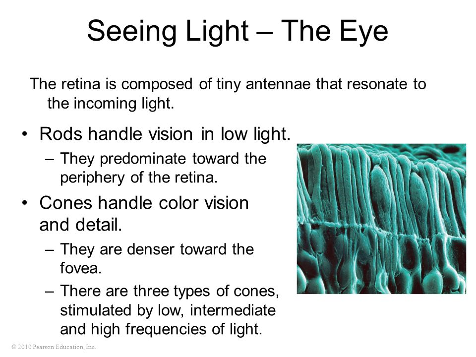 Seeing Light – The Eye Rods handle vision in low light.