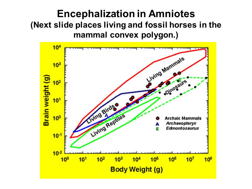 Encephalization in Amniotes (Next slide places living and fossil horses in the mammal convex polygon.)