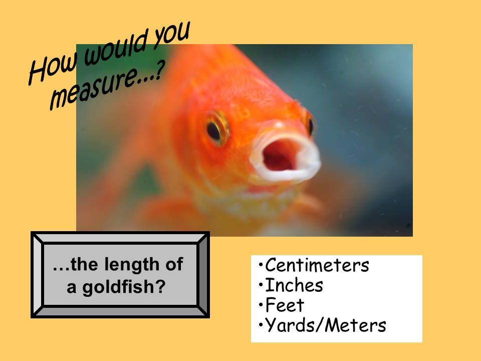 How would you measure... …the length of a goldfish Centimeters Inches Feet Yards/Meters