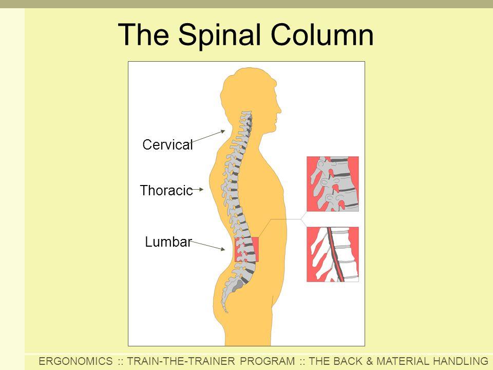 The Spinal Column Cervical Thoracic Lumbar