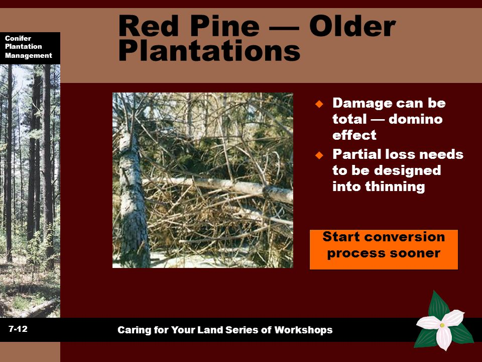 Red Pine — Older Plantations