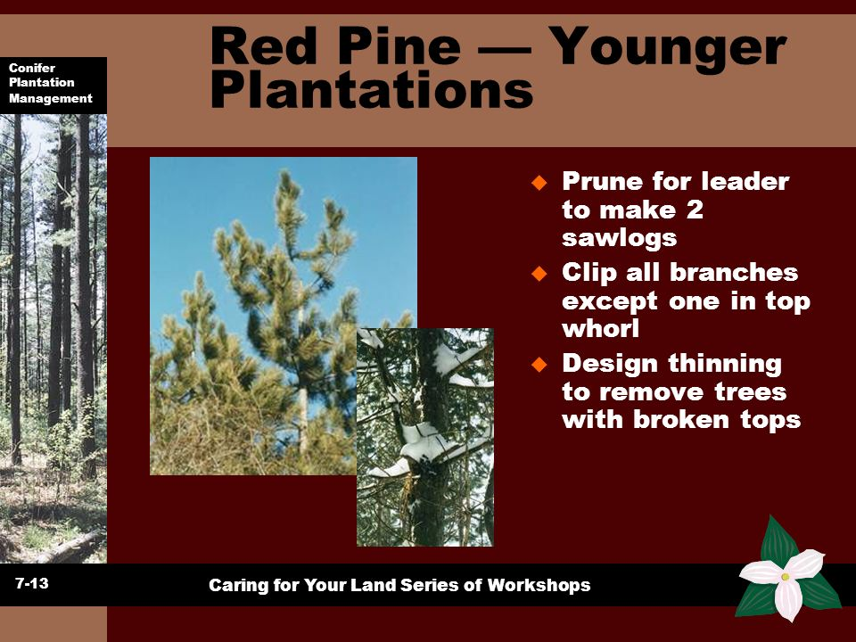 Red Pine — Younger Plantations