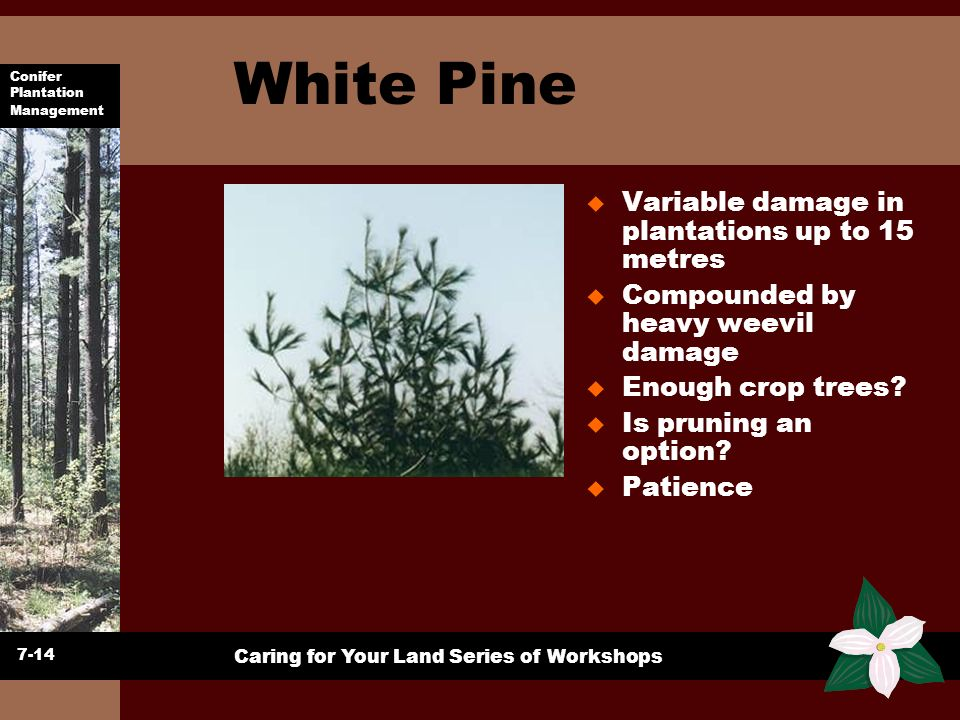 White Pine Variable damage in plantations up to 15 metres