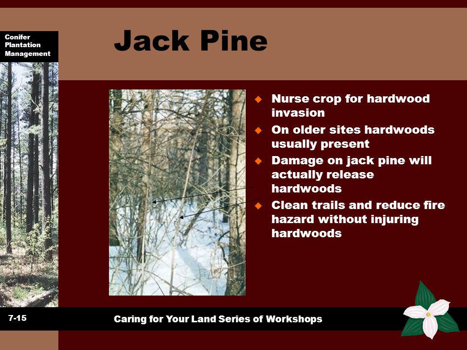 Jack Pine Nurse crop for hardwood invasion