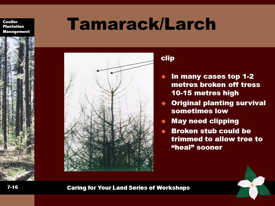 Tamarack/Larch clip. In many cases top 1-2 metres broken off tress 10-15 metres high. Original planting survival sometimes low.