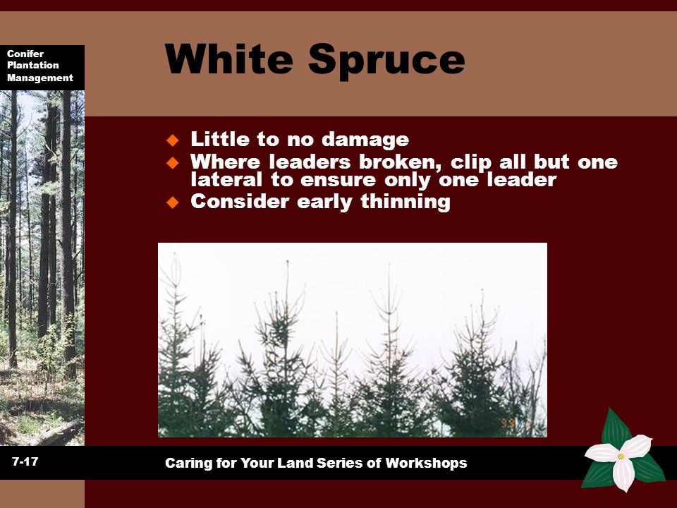 White Spruce Little to no damage