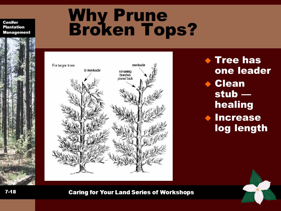 Why Prune Broken Tops Tree has one leader Clean stub — healing