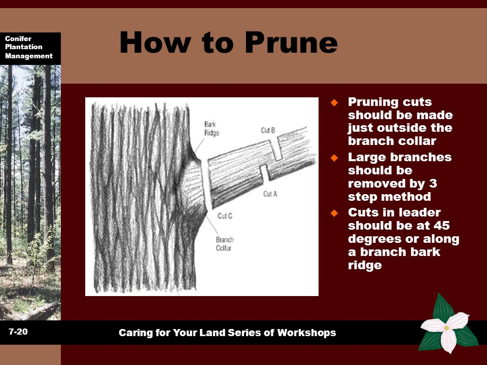 How to Prune Pruning cuts should be made just outside the branch collar. Large branches should be removed by 3 step method.