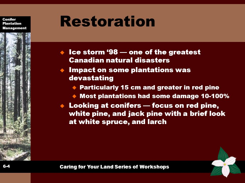 Restoration Ice storm '98 — one of the greatest Canadian natural disasters. Impact on some plantations was devastating.