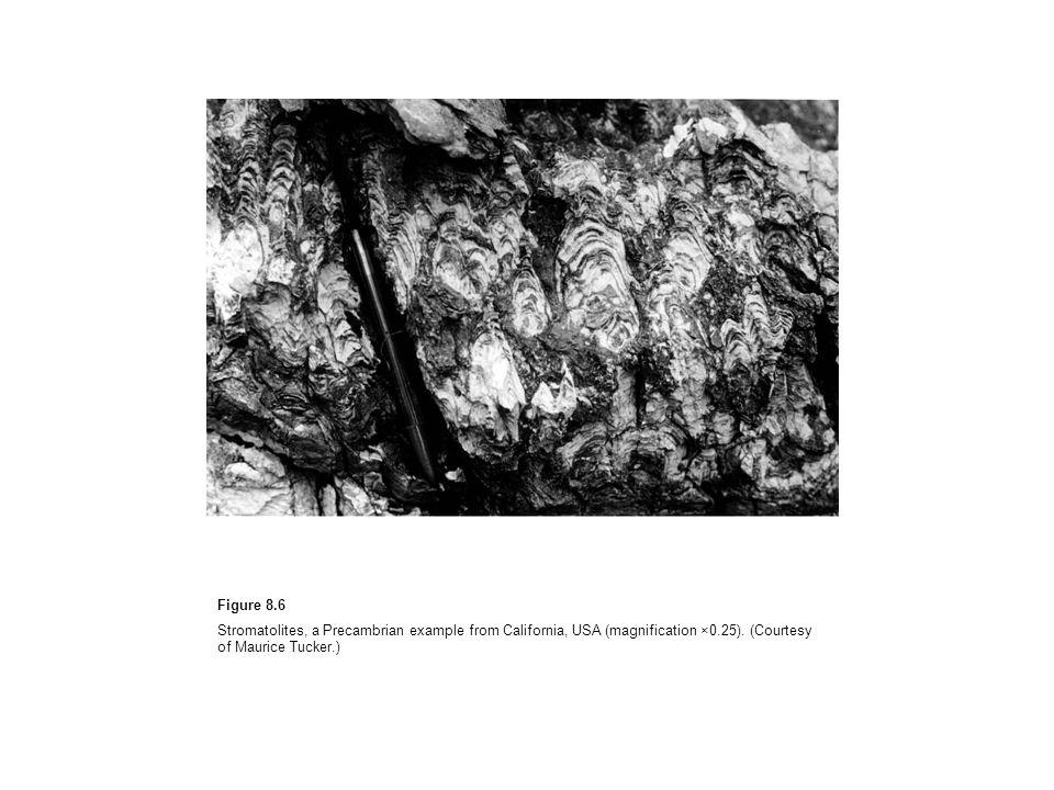 Figure 8.6Stromatolites, a Precambrian example from California, USA (magnification ×0.25).