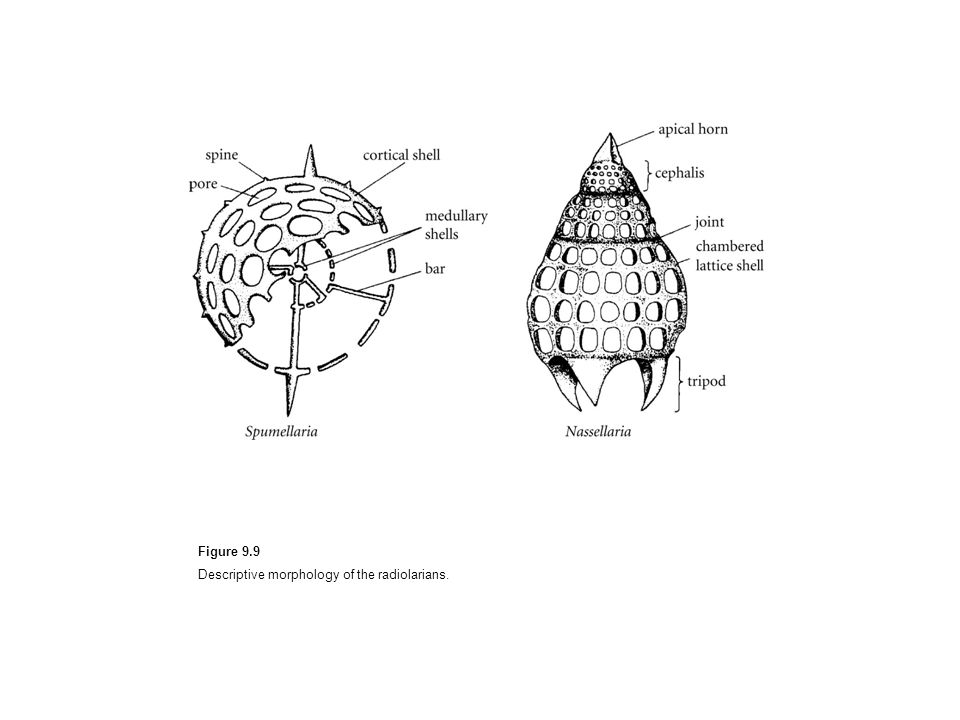 Figure 9.9 Descriptive morphology of the radiolarians.