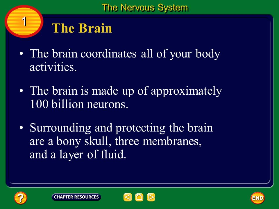 The Brain 1 The brain coordinates all of your body activities.