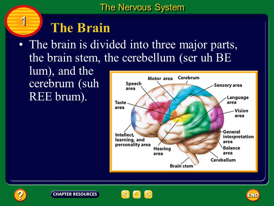 The Nervous System 1. The Brain. The brain is divided into three major parts, the brain stem, the cerebellum (ser uh BE lum), and the.