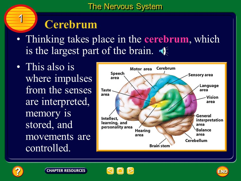 The Nervous System 1. Cerebrum. Thinking takes place in the cerebrum, which is the largest part of the brain.