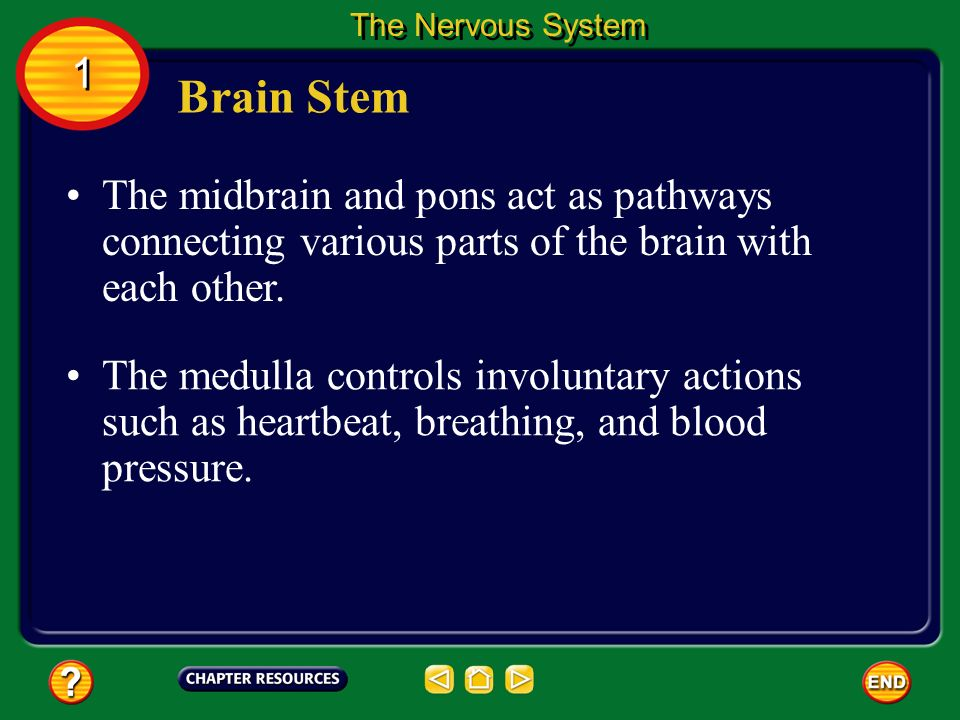 The Nervous System 1. Brain Stem. The midbrain and pons act as pathways connecting various parts of the brain with each other.