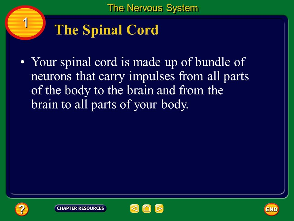 The Nervous System 1. The Spinal Cord.