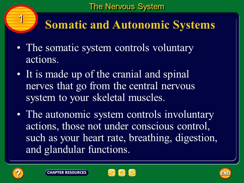 Somatic and Autonomic Systems
