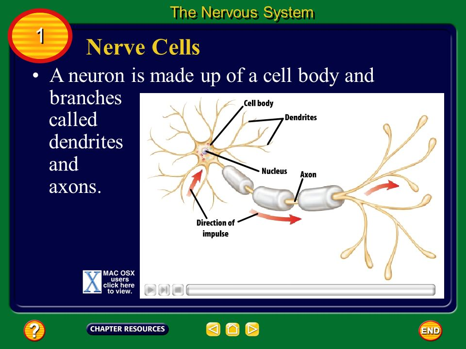 Nerve Cells 1 A neuron is made up of a cell body and branches