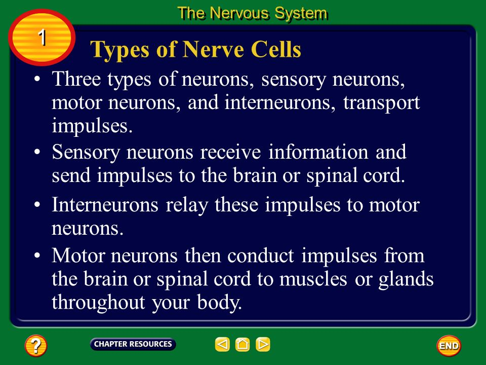 The Nervous System 1. Types of Nerve Cells. Three types of neurons, sensory neurons, motor neurons, and interneurons, transport impulses.
