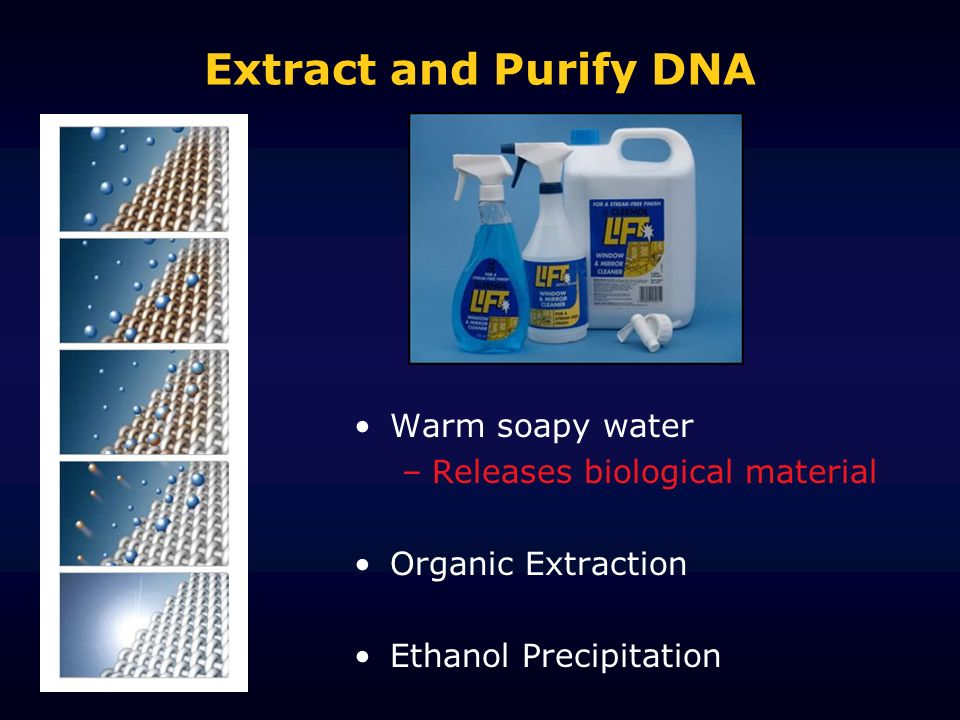 Extract and Purify DNA Warm soapy water Releases biological material