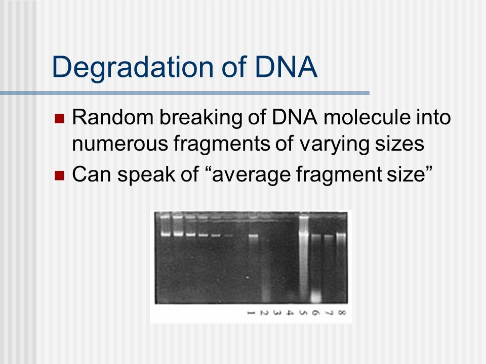Degradation of DNA Random breaking of DNA molecule into numerous fragments of varying sizes.