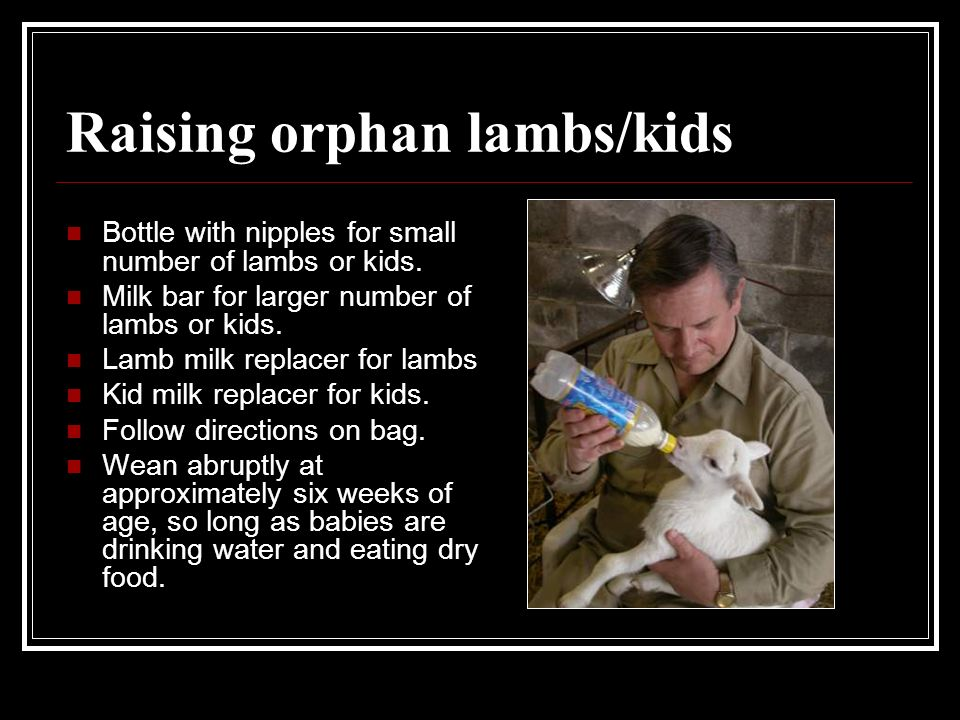 Raising orphan lambs/kids
