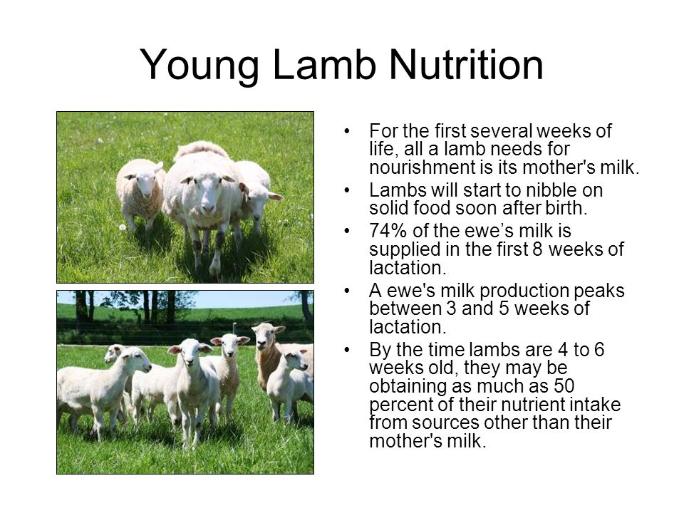 Young Lamb Nutrition For the first several weeks of life, all a lamb needs for nourishment is its mother s milk.